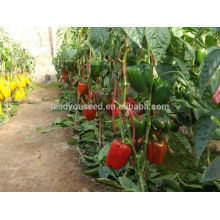 SP28 Lunmei early maturity outdoor planting sweet pepper seeds, open field planting seeds
