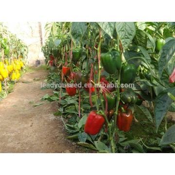 SP28 Lunmei maturação precoce ao ar livre plantio de sementes de pimenta doce, campo aberto plantio de sementes