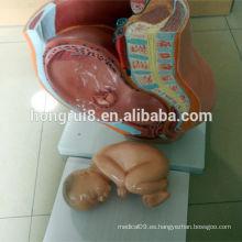 Sección Mediana ISO del Modelo de Pelvis Femenino, Anatomía de la Pelvis