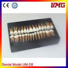 Modelo de Estudo de Anatomia Odontológica para Venda