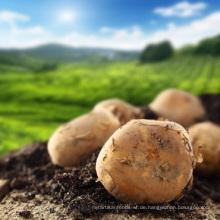 Die Kartoffeln wurden sorgfältig in Säcken verpackt
