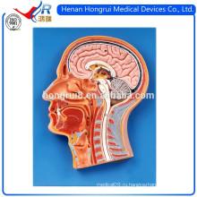 ISO 3-D срединная секция модели головы человека