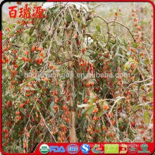 Fresh goji berries import goji berries goji krem with low pasiticide