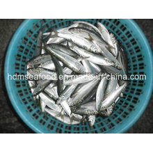 Gefrorene Sardine für Thunfisch-Köder (Sardinella aurita)