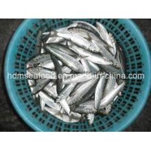 Sardine congelée pour appât au thon (Sardinella aurita)