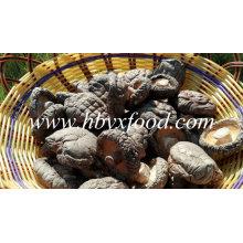Cogumelo de Shiitake liso fresco superior do cogumelo da qualidade para a venda