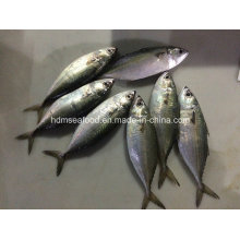 Chinese Indian Mackerel