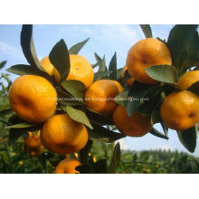Mandarina bebé recién nacido de la ciudad de Nanfeng