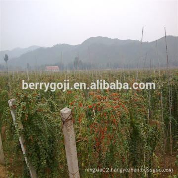 Goji/Wolfberry/Lycium Barbarum plant tree