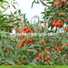 Factory Supply Fruits Improve Eyesight Samples Goji Berry