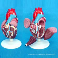 Modelo Anatomico de Demonstração do Coração para Ensino Médico (R120104)