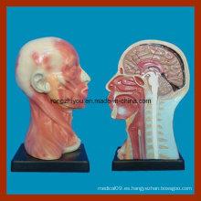 Modelo de Anatomía Local de Cavidad y Cuello de la Cabeza Humana