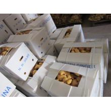 Nuevos cultivos de jengibre fresco (250G y más)