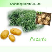 Шаньдун Новый урожай высококачественного свежего картофеля