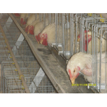 Type de cage de type a et de type H et cage de batterie pour utilisation de poulet