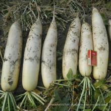 HR03 Dupo branco resistente ao frio sementes de rabanete OP em sementes de hortaliças