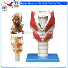 Modelo anatómico laríngeo avanzado de ISO