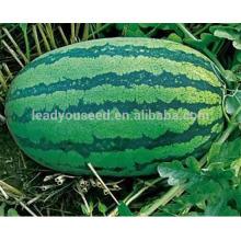 W03 Xinong no.9 graines de pastèque de grande taille de maturité moyenne pour la plantation