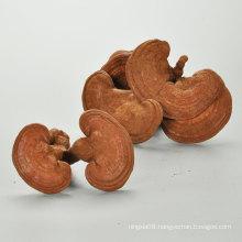 China changbaishan organic Dried ganoderma lucidum/reishi /lingzhi mushroom