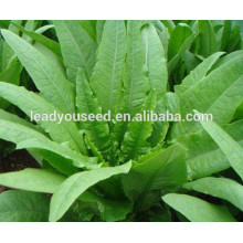 MIL01 Changye disease resistant chinese Indian lettuce seeds for planting