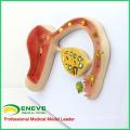 ANATOMY16 (12454) Modelo de Educación Médica de Huevo Fertilizado del Cuerpo Humano