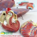 LUNG01(12498) 1:1 Lung 7 parts Model with larynx Anatomy Models > Lung Models > Education Model