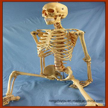 170cm Жизненный размер Человеческий скелет Медицинское обучение Анатомия Модель
