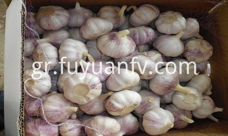 purple skin garlic