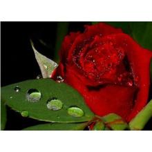 Extracto de Rose orgánico 100% (XT-FL447)