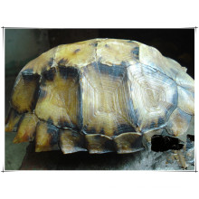 Factory Natural Turtle Shell/ Carapax Trionycis 10: 1 Extract Powder