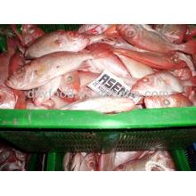 Gefrorene rote Seabream