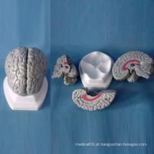Modelo anatômico do cérebro humano médico para o ensino (R050103)