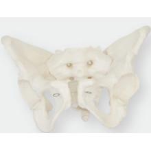 Simulation du modèle pelvien mâle (femelle)