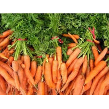 2013 new carrot fresh