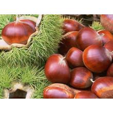 Nuevo Crop Fresh Chestnut