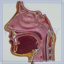 PNT-04361 modelo de anatomía de la cavidad nasal OEM