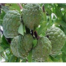 Natürlicher Graviola Extrakt / Sweetsop Extrakt (XT-FL441)