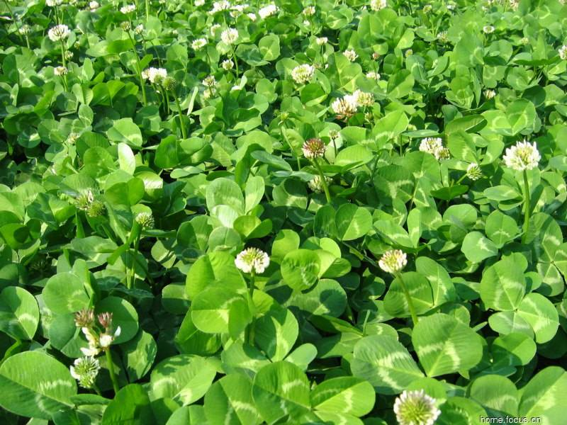 2018 Touchhealthy Supply Trifolium repens L seeds