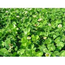 2018 Touchhealthy Supply Trifolium repens L graines