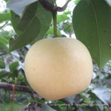 Nouvelle saison haute qualité Golden Pear