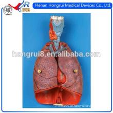 Laringe ISO, modelo de coração e pulmão