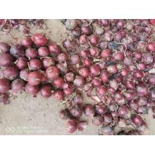 FRESH RED YELLOW ONION FOR INDONESIA
