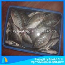 Fournir toutes sortes de poissons de tilapia aux fruits de mer congelés