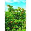 IQF Freezing Organic Raspberry Hr-16090902