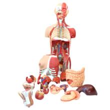 TopRanking 12016 Menschliche Torsomodelle, lebensgroßes 85cm Torso-Muskel-medizinisches Anatomie-Modell