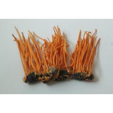La fuente de la fábrica vende directamente el extracto natural de 100% Cordyceps Militaris Orden mínima: 1kg
