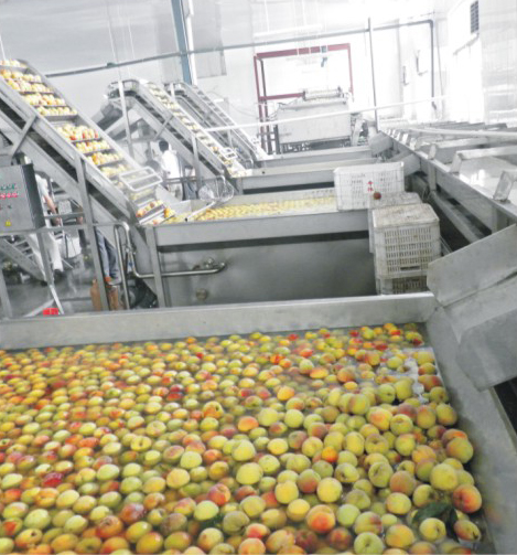 Yellow Peach Canned Production