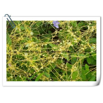 Manufacturer Semen Cuscutae/ Chinese Dodder Seed Extract 10: 1