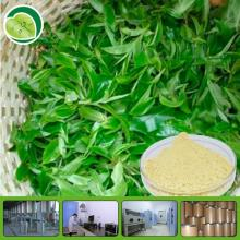 free sample plant extract matcha green tea extract TP tea polyphenol EGCG
