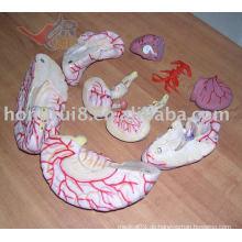 ISO sehr detailliertes Gehirnmodell mit zerebraler Arterie, Gehirn mit Arterie